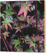 Red Bark Maple  Wood Print