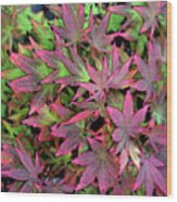 Red Bark Maple Leaves  Wood Print
