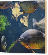Red Bellied Piranha Fishes Wood Print