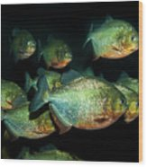 Red-bellied Piranha Wood Print
