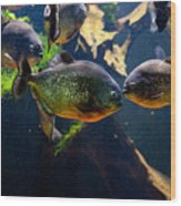 Red Bellied Piranha Or Red Piranha Wood Print