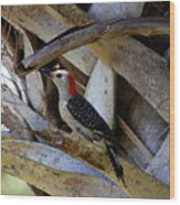 Red-bellied Woodpecker Hides On A Cabbage Palm Wood Print