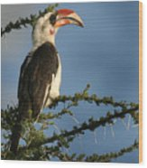 Red Bill Hornbill Wood Print