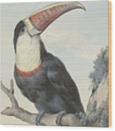 Red Billed Toucan, 1748  Wood Print