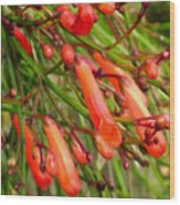 Red Blossoms Of A Firecracker Plant Wood Print