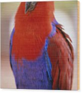 Red Blue Macaw Wood Print