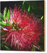 Red Bottle Brush Wood Print