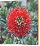 Red Bottlebrush Wood Print