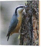 Red Breasted Nuthatch Wood Print
