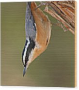Red-breasted Nuthatch Upside Down Wood Print