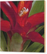 Red Bromiliad Wood Print