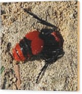 Red Burrowing Insect Wood Print