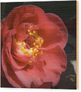 Red Camellia Bloom Wood Print