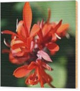 Red Canna Flower Wood Print