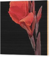 Red Canna Wood Print