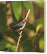 Red Capped Cardinal Wood Print