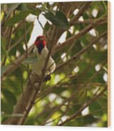 Red-capped Cardinal Digital Oil Wood Print