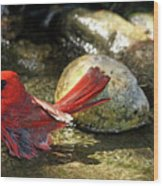 Red Cardinal Bathing Wood Print
