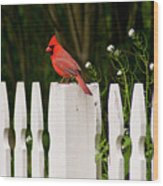 Red Cardinal--white Fence Wood Print