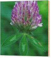 Red Clover Wood Print