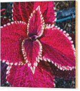 Red Coleus Wood Print