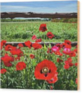 Red Corn Poppies At The Fence Wood Print
