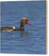 Red-crested Male Pochard Duck, Netta Rufina Wood Print