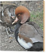 Red Crested Pochard Duck Wood Print