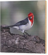 Red Crested Posing Wood Print