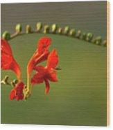 Red Crocosmia Wood Print