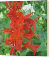 Red Crocosmia Lucifer Wood Print