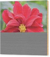 Red Dahlia-2 Wood Print