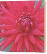 Red Dahlia Delight Wood Print