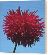Red Dahlia Purple Dahlia Flower Art Prints Baslee Troutman Wood Print