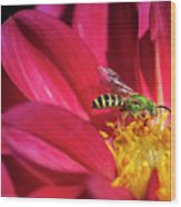Red Dahlia With Wasp Wood Print