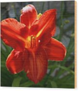 Red Daylily With Sunlight Wood Print