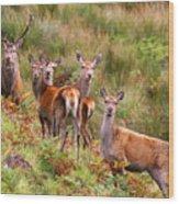 Red Deer In The Scottish Highlands Wood Print