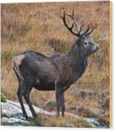 Red Deer Stag In Autumn Wood Print