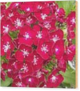 Red Dianthus Wood Print