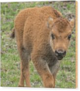 Red Dog Bison In Yellowstone Wood Print