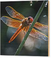 Red Dragonfly On Reed Wood Print