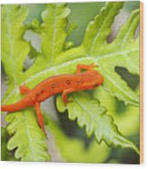 Red Eft Eastern Newt Wood Print
