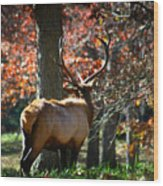 Red Elk Wood Print