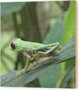 Red Eyed Tree Frog On A Leaf Wood Print