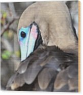 Red Footed Booby Wood Print
