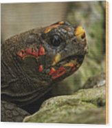 Red-footed Tortoise Wood Print