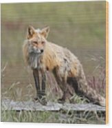 Red Fox  American Camp San Juan Island Wood Print