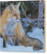 Red Fox At Dawn In Winter Wood Print