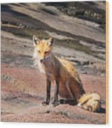 Red Fox In Maine Wood Print