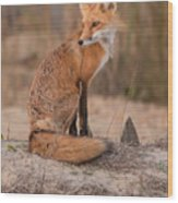 Red Fox In Pose Wood Print